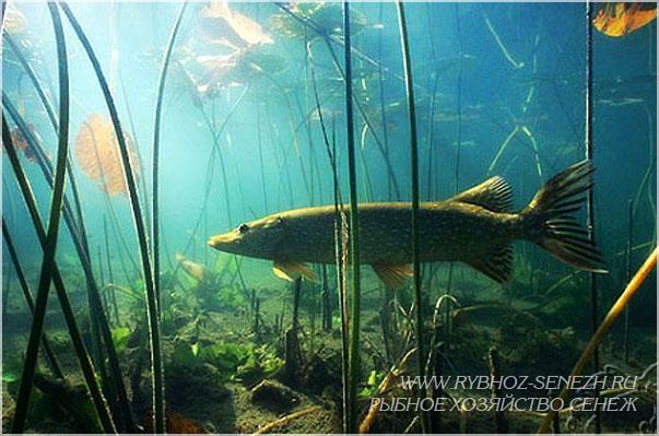 щука в рыбхозе Сенеж