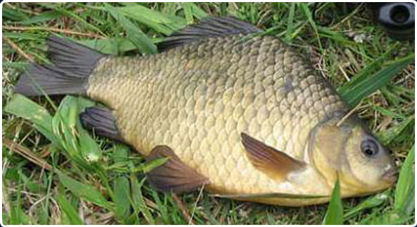 карась в рыбхозе Сенеж