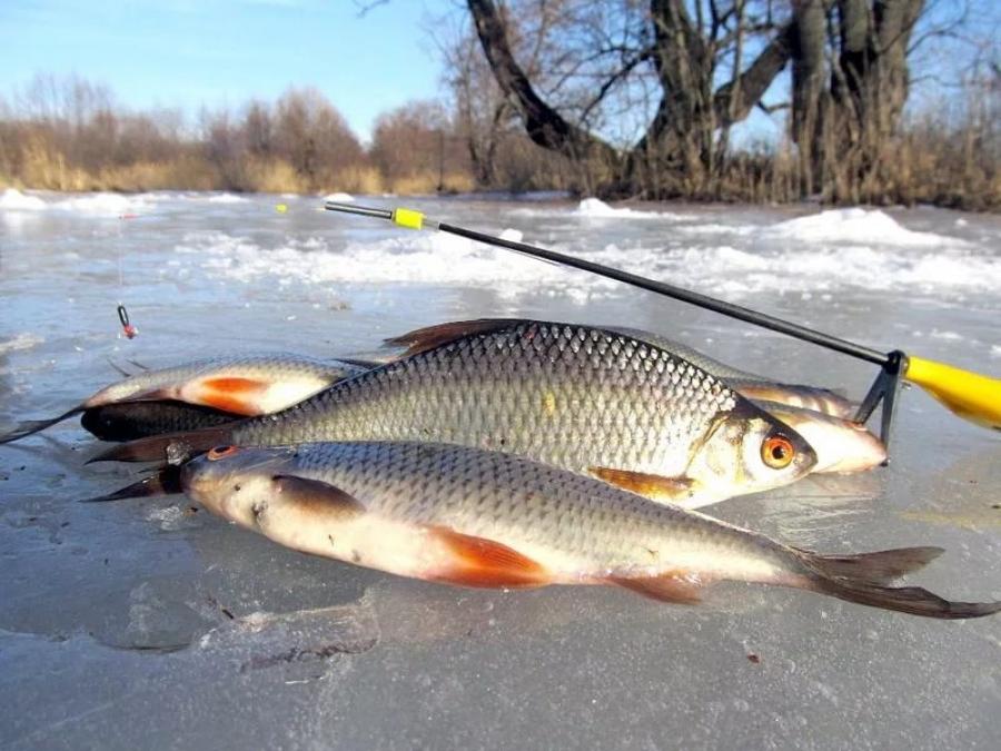 Как и на что ловить плотву зимой