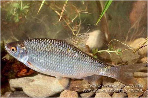 Рыбалка на плотву ловля плотвы