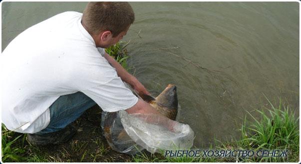 выпускаем в водоем крупного карпа рыбное хозяйство Сенеж 10 мая 2010