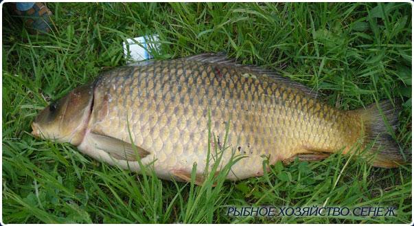 карп более 10кг рыбхоз Сенеж 22 мая 2010