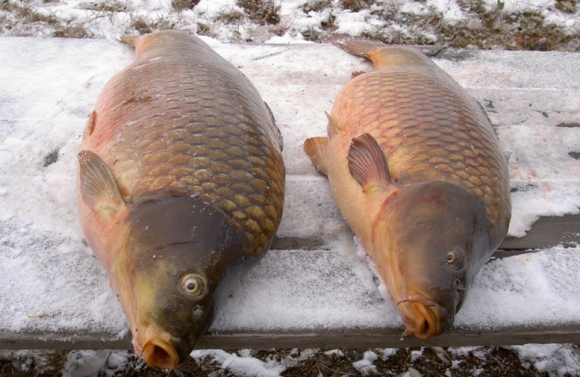 Зимняя рыбалка: Техника ловли карпа зимой