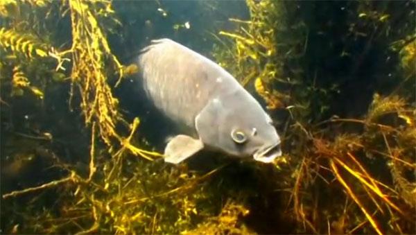 Подводная охота на сазана + Видео